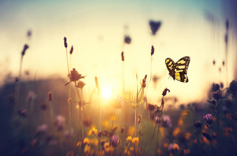 Butterflies in front of sunset